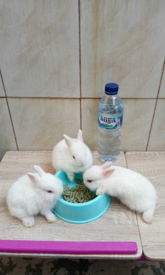 Anakan kelinci nd putih