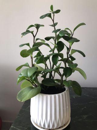 Vase plant pasu