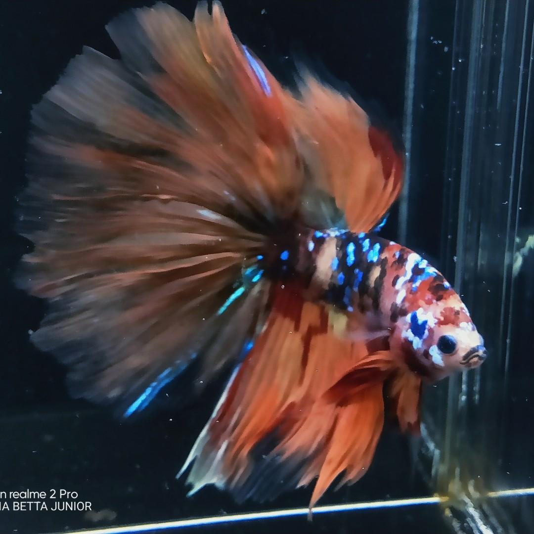 Ikan Cupang Halfmoon Nemo Galaxy Perlengkapan Hewan Makanan Hewan Di Carousell