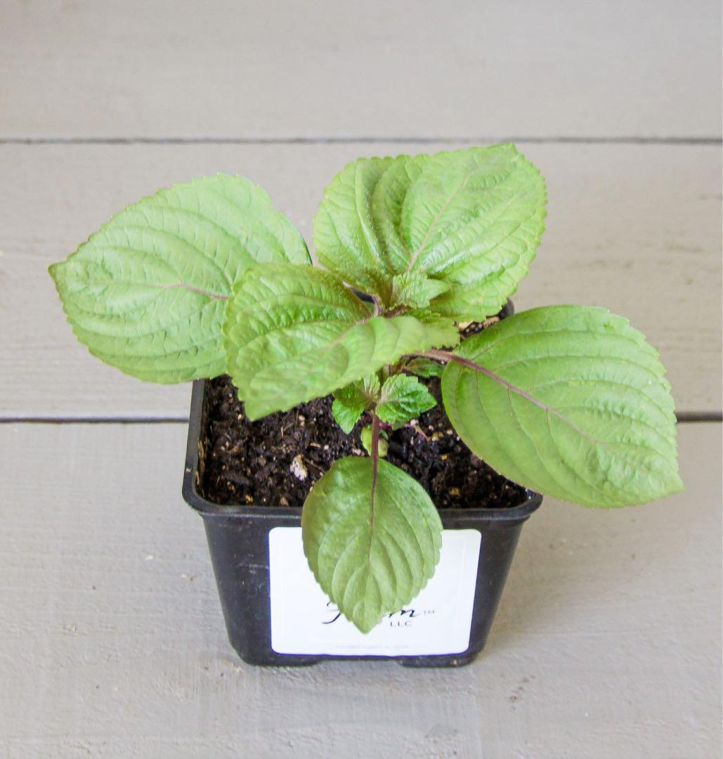 Organic Perilla seedling Shiso suited for Singaporean weather