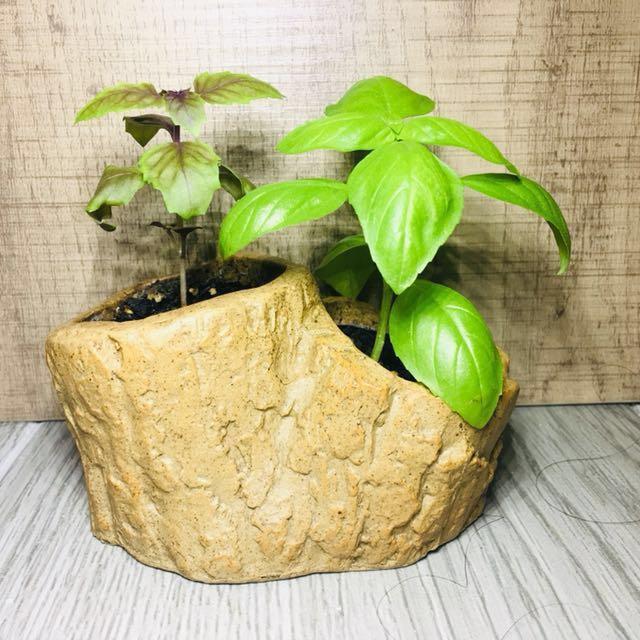 2合1 荷蘭🇳🇱+ 英國🇬🇧 有機 香草 紫紅色 甜羅勒 樹苗 植物 盆栽連花盆 2 in 1 Holland+UK England organic herb purple red sweet basil tree bonsai botanical plant with flower pot