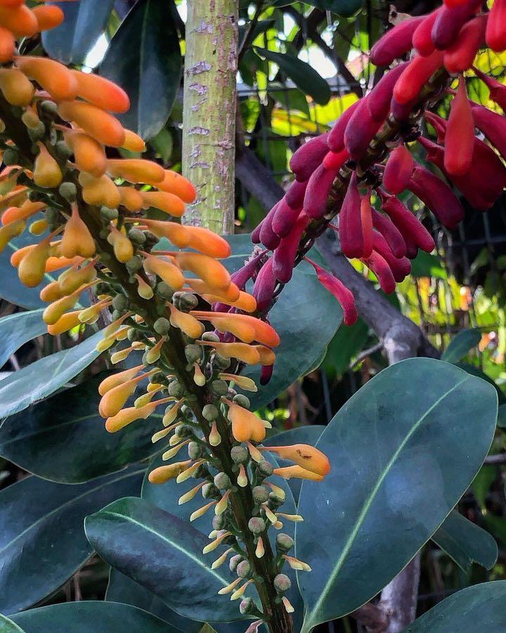 Norantea guianensis (Red Hot Poker Vine)