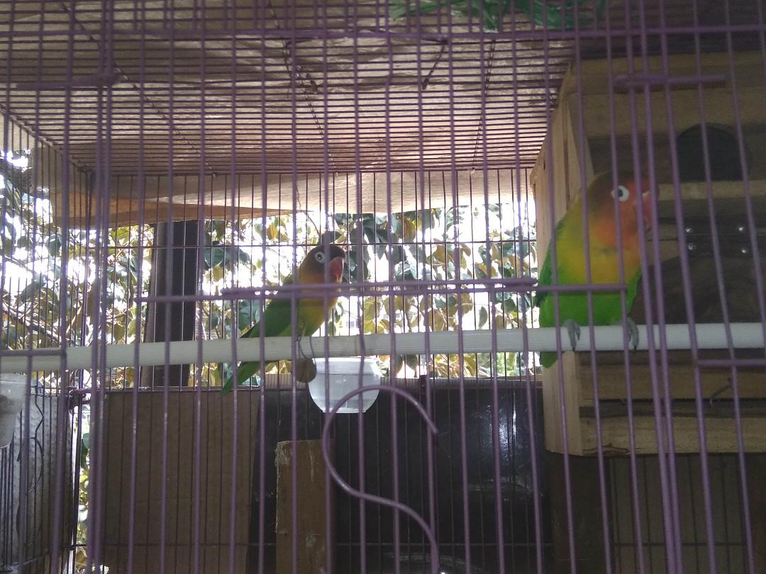 Burung Lovebird couple