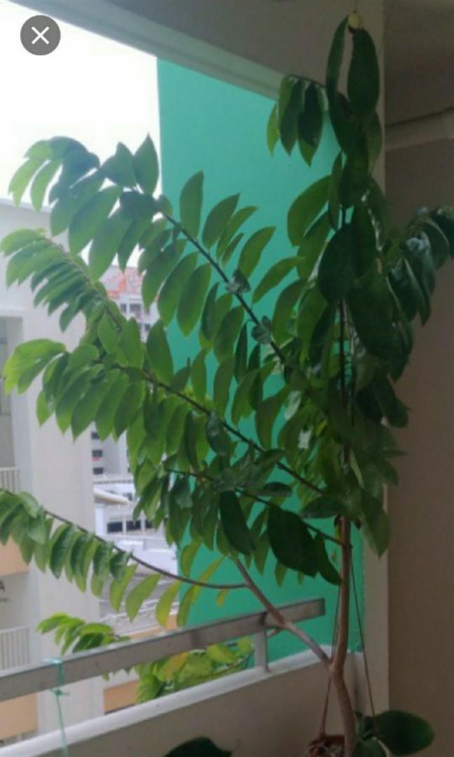 Soursop tree free