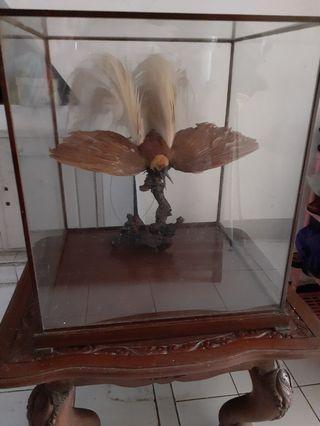 Burung Cendrawasih ASLI