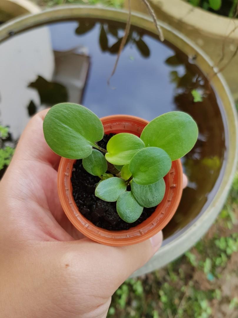 Drimiopsis maculata (Leopard plant)