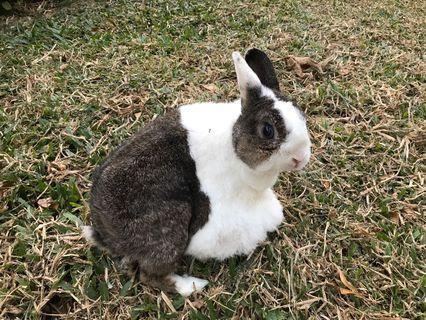 兔子認養送養  台北市 士林區
