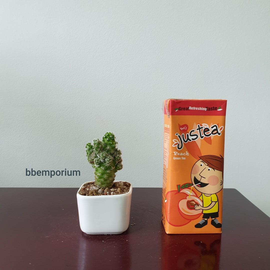 Mini Cactus 🕷🕸🌵 (QQ11)