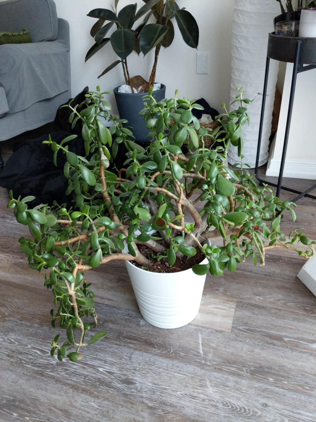 5 year old resilient Jade plant, comes with the pot