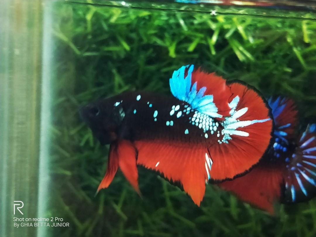 Ikan Cupang Avatar A1 Perlengkapan Hewan Aksesoris Hewan Di Carousell
