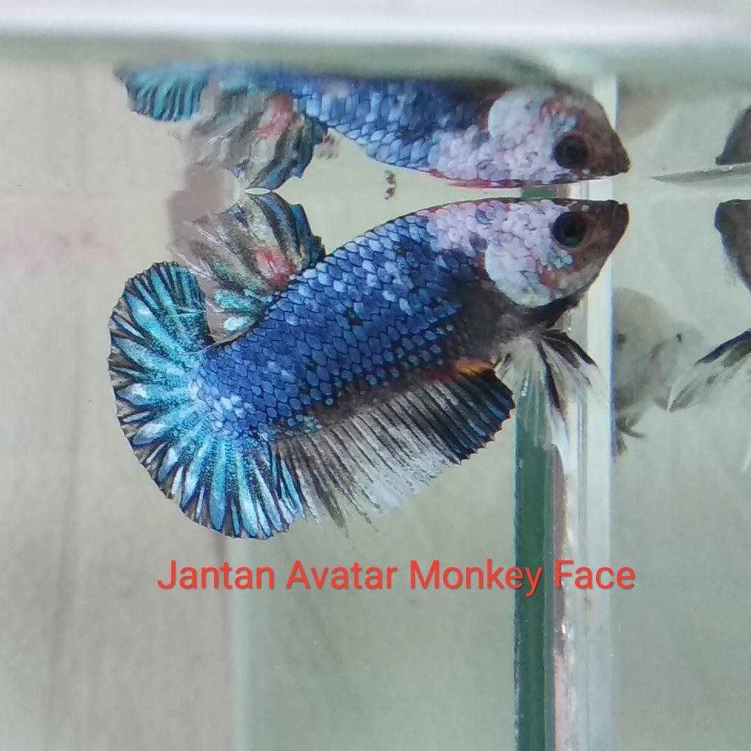Ikan Cupang Hias Avatar Monkey Face Bonus Perlengkapan Hewan Aksesoris Hewan Di Carousell