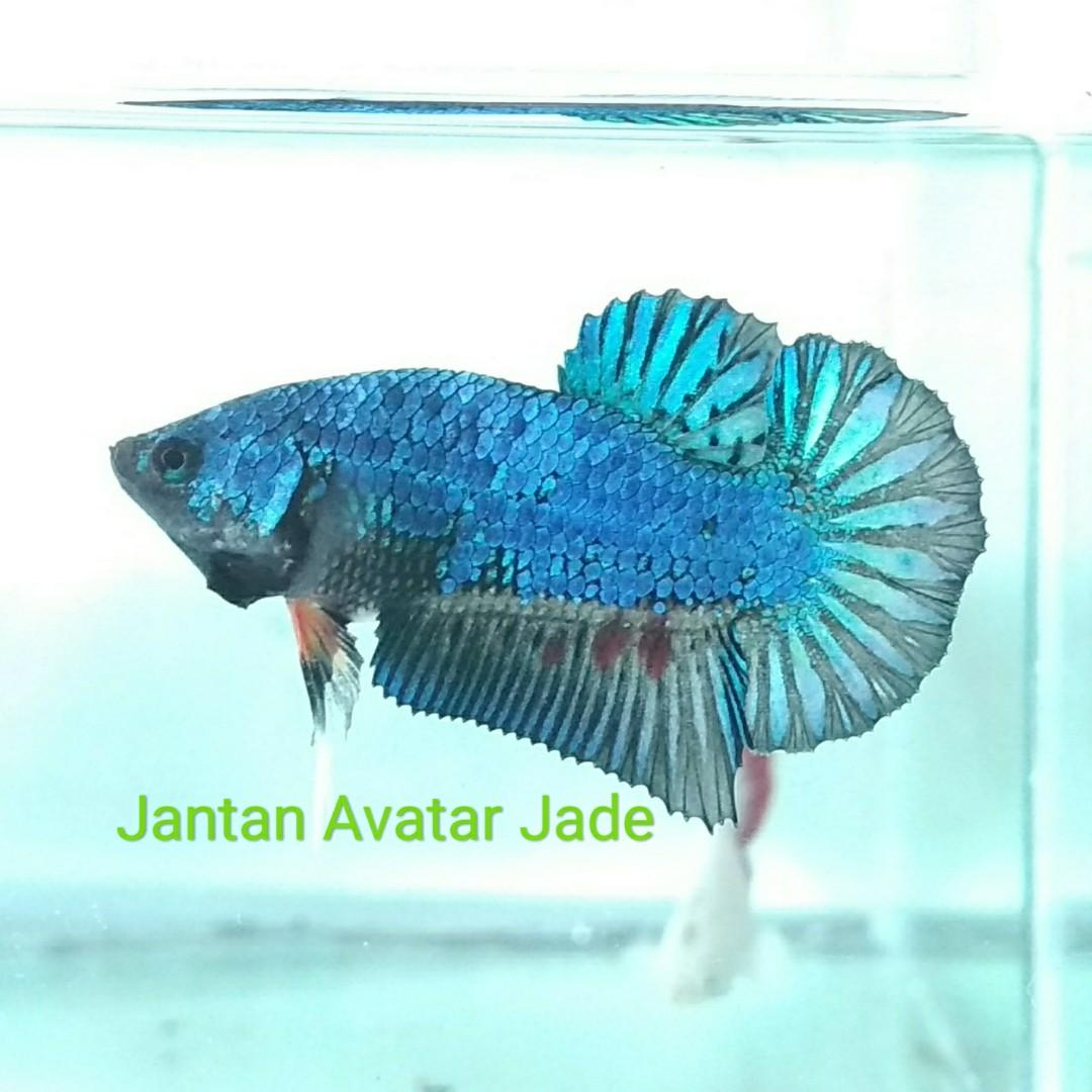 Ikan Hias Cupang Jenis Avatar Jade Jantan Betina Perlengkapan Hewan Aksesoris Hewan Di Carousell