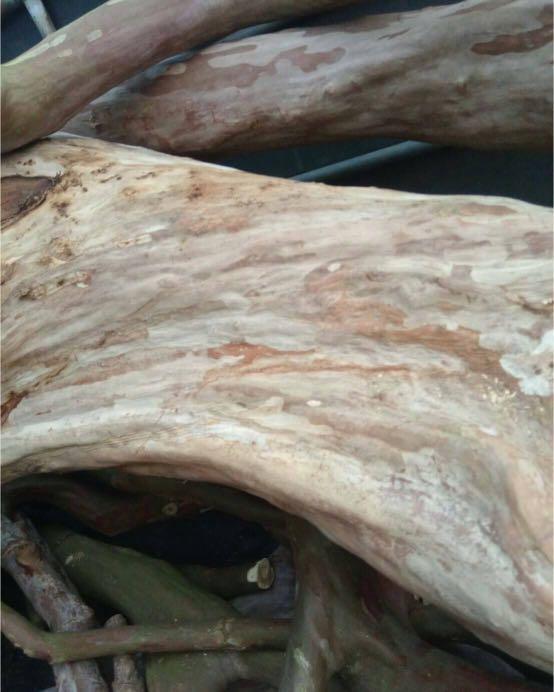 九芎樹百年老樹