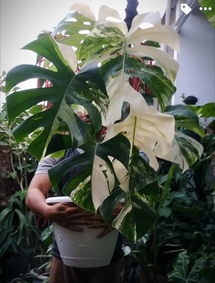 Monstera Not For Sale (Apip Relix)