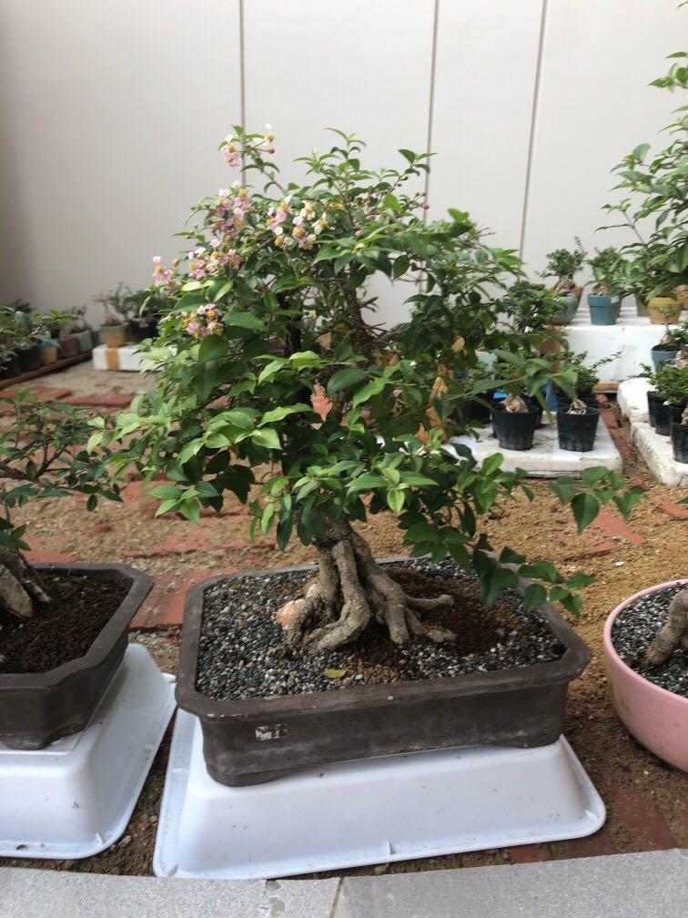 Cherry Bonsai Gardening Plants On Carousell
