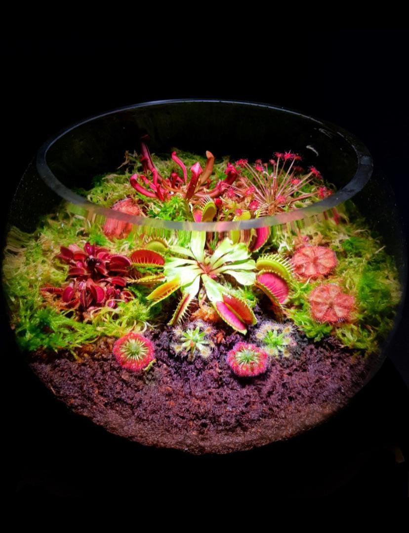 Sg Venus Fly Trap Terrarium Gardening Plants On Carousell