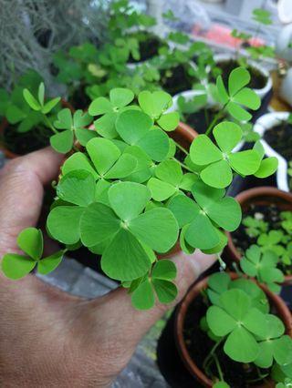 Four Leaf Lucky Plant 幸运四叶草
