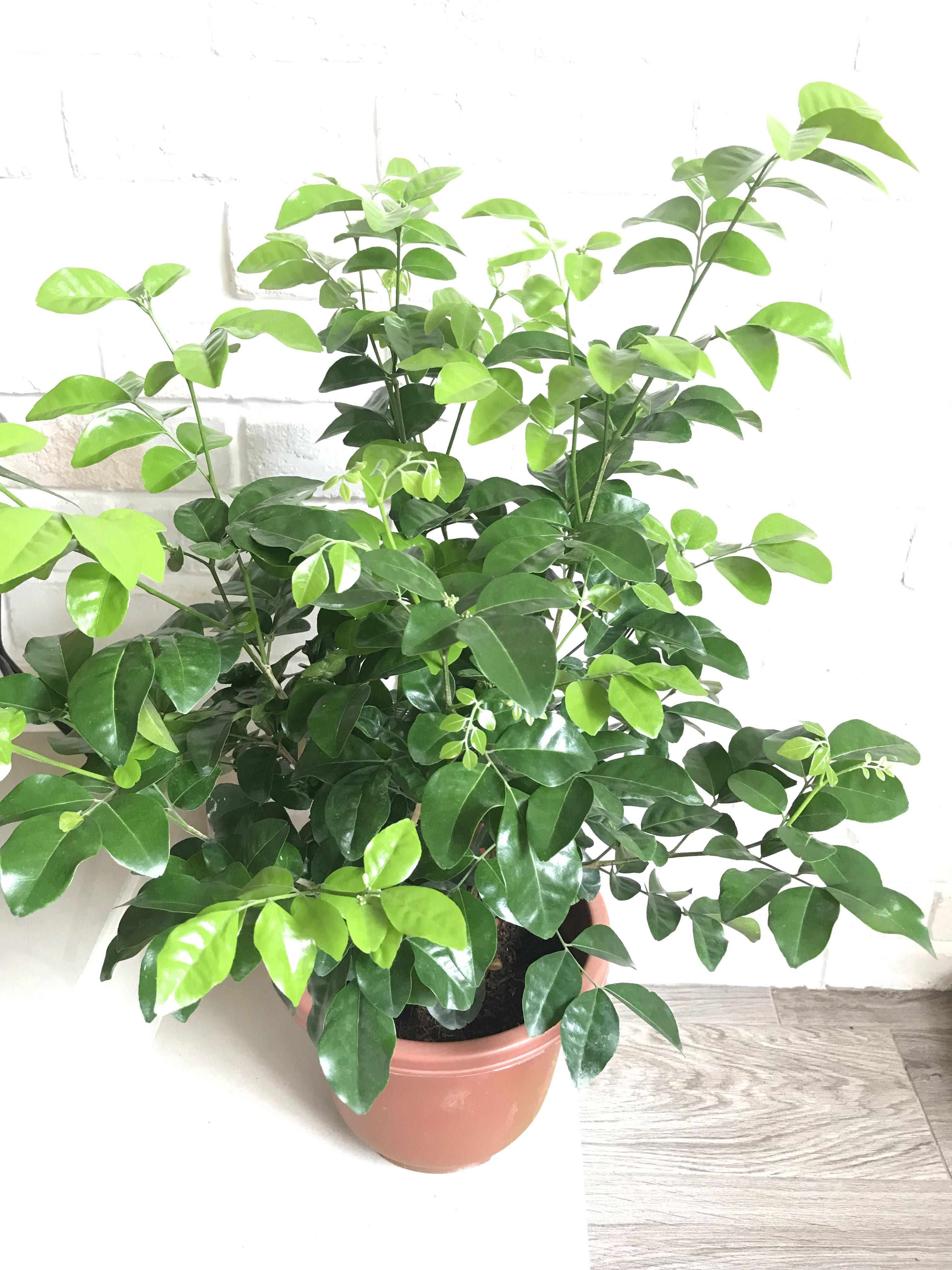 Murraya Paniculata Plant Furniture Home Living Gardening Plants Seeds On Carousell