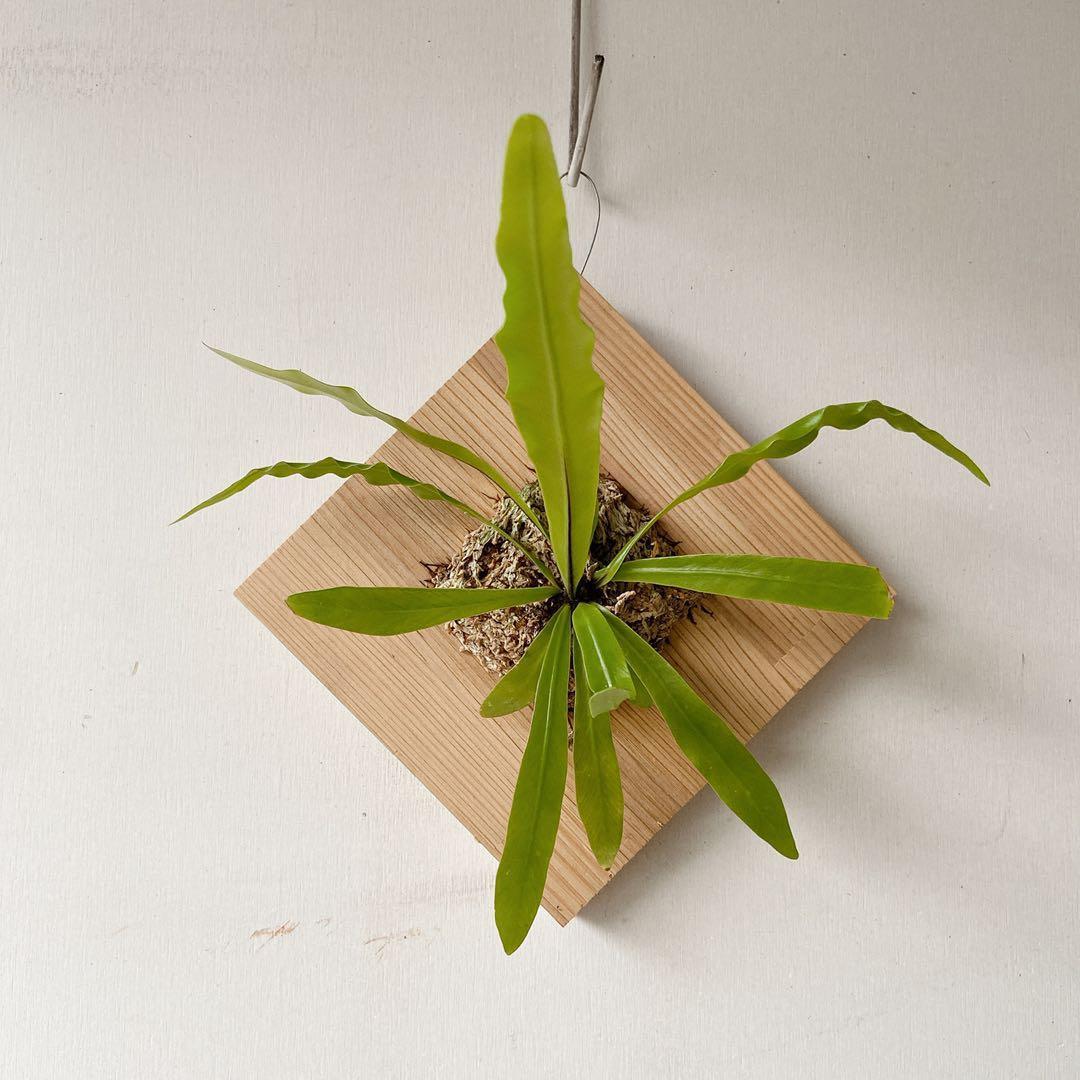 植物上板—山蘇上板 黃金葛上板 鹿角蕨上板 波斯頓厥上板 兔腳厥上板 漂流木上板