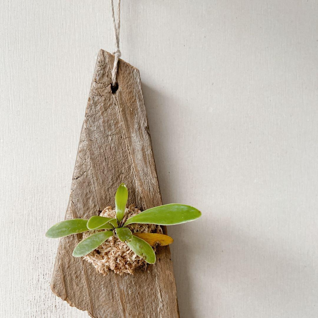 植物上板—山蘇上板 斑葉黃金葛上板 鹿角蕨上板 波斯頓厥上板 兔腳厥上板 漂流木上板
