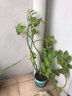 Euphorbia Plant / Prosperity Plant