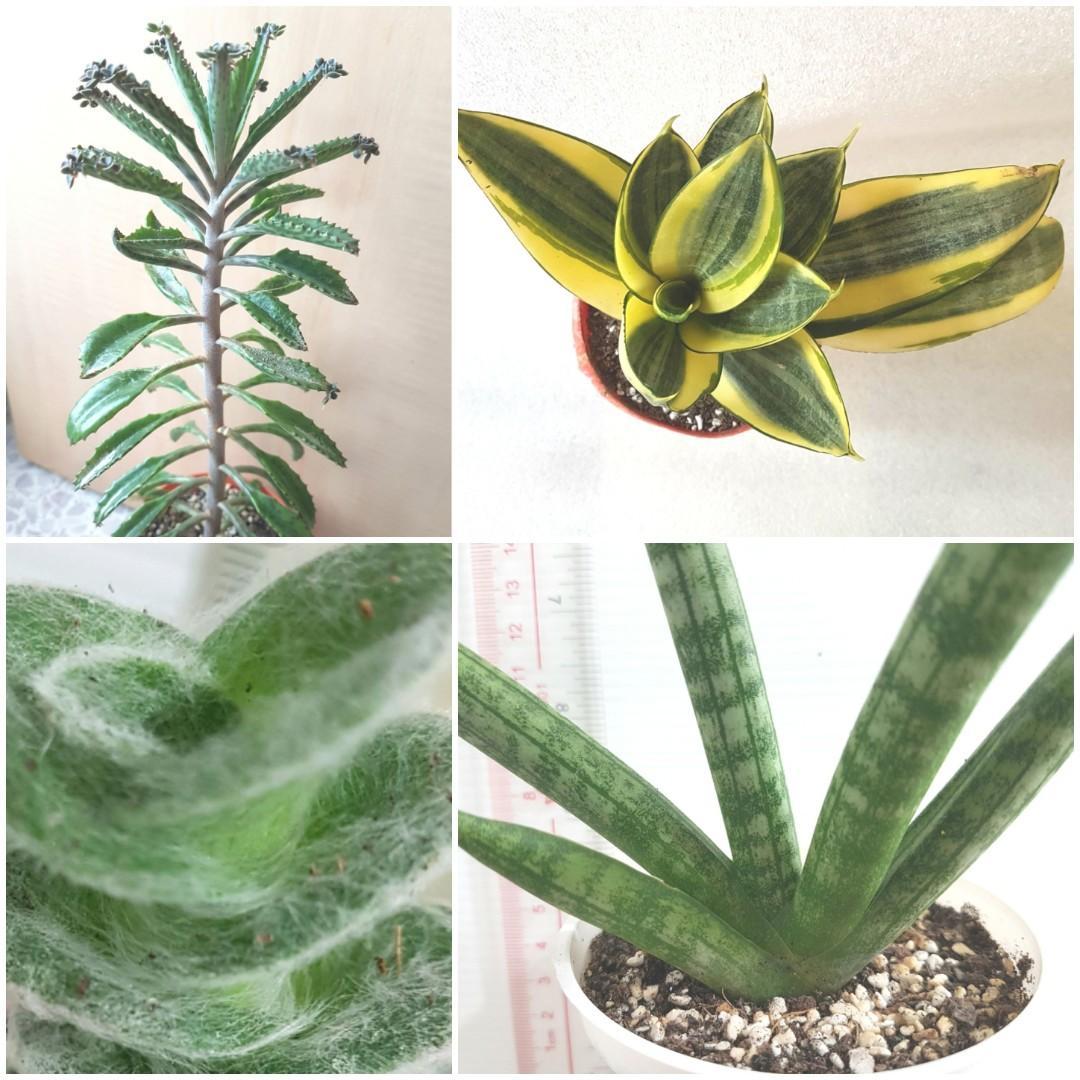 Fr 3 50 To 6 White Velvet Old Man Beard Furry Fluffy Plant Garden Terrarium Succulent Cactus