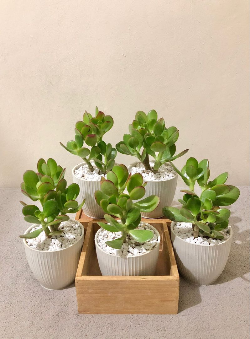 Jade Money Plant Indoor Plant Home Office Condo Gardening Flowers Plants On Carousell