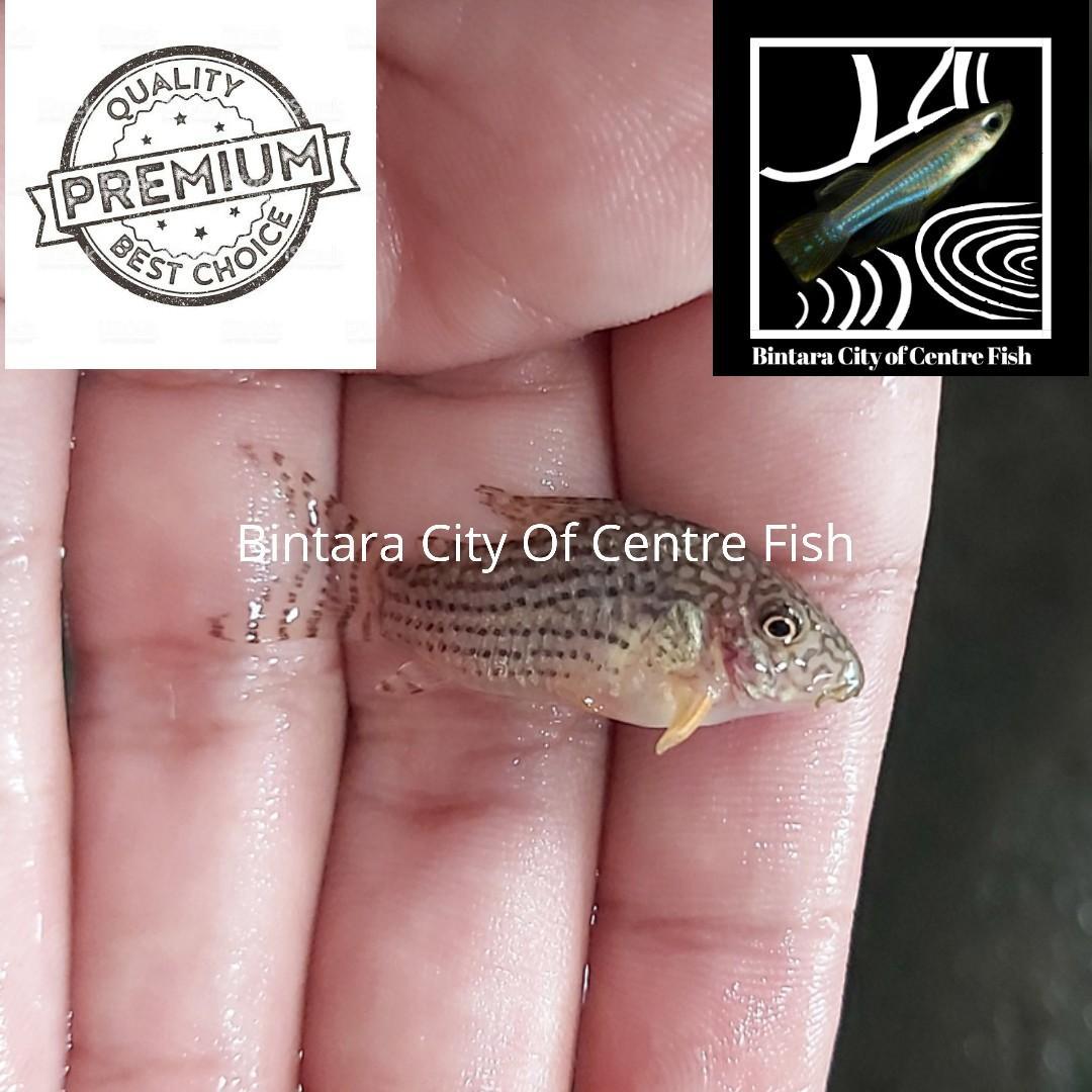 50 ekor ikan hias corydoras sterbai aquascape murah ukuran 3-3,5 cm
