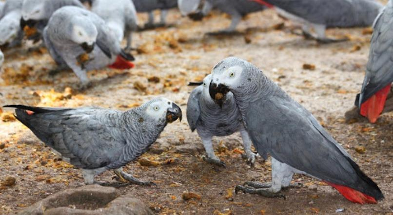 Adorable African Grey Parrots Avaliable