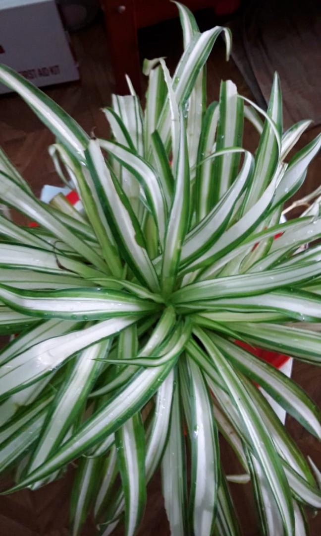 White Variegated Spider Plant Chlorophytum Comosum Variegatum Gardening Plants On Carousell
