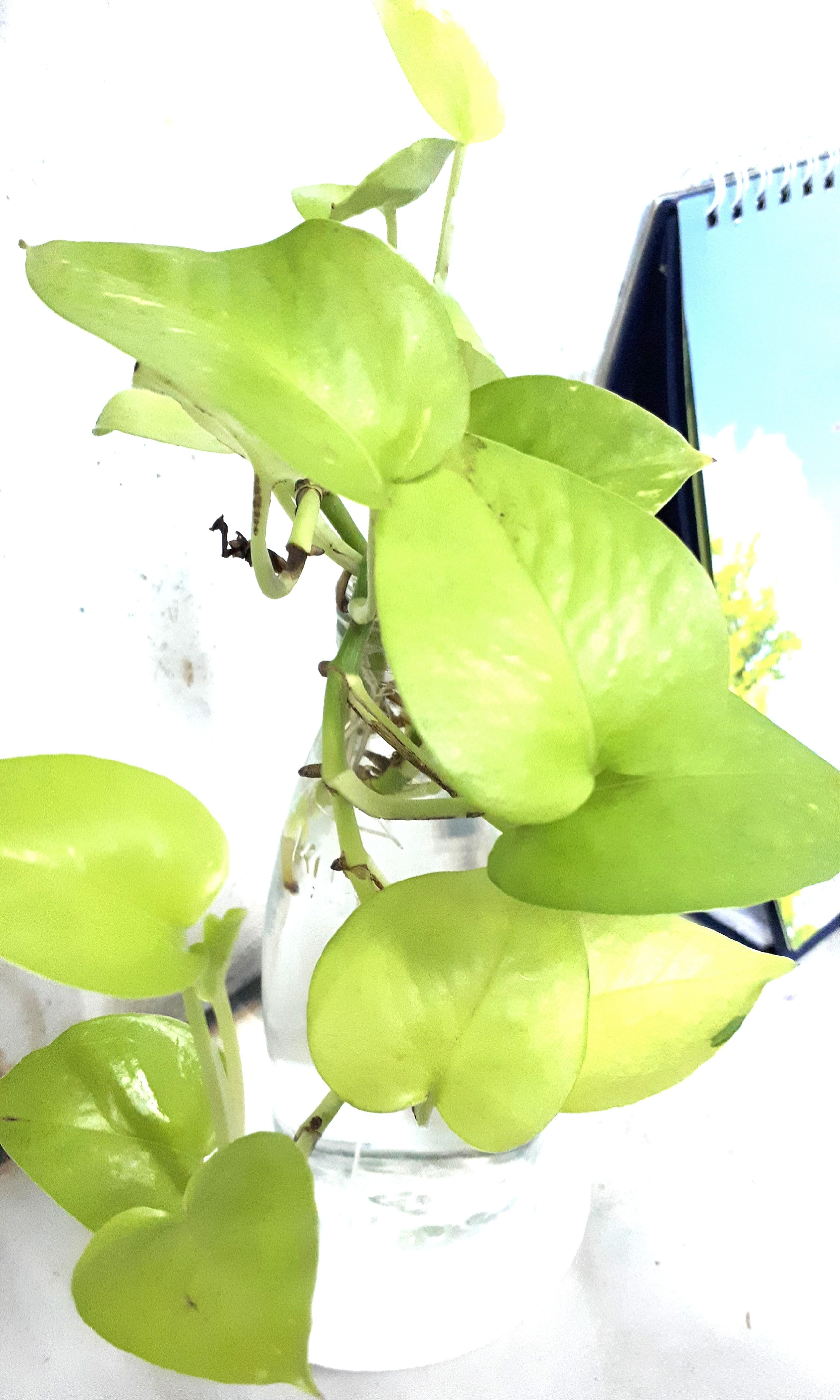 Sri Gading Lemon (Epipremnum)