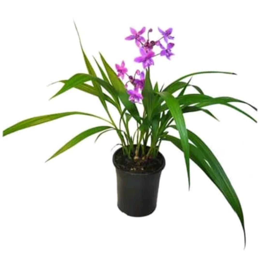 Tanaman Hias Anggrek Tanah Mini Bunga Ungu / Spathoglottis Plicata
