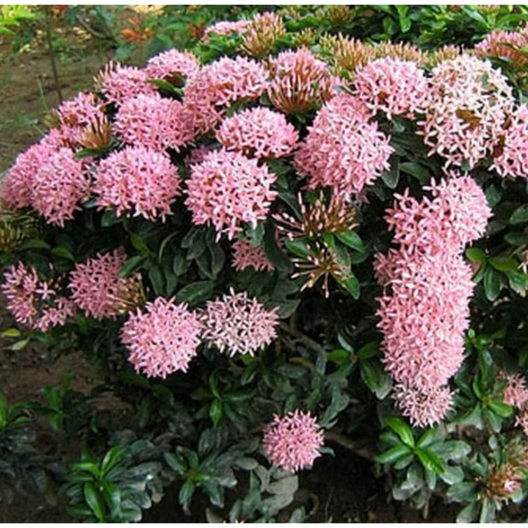 Tanaman Hias Asoka Bunga Pink / Dwarf Pink Ixora