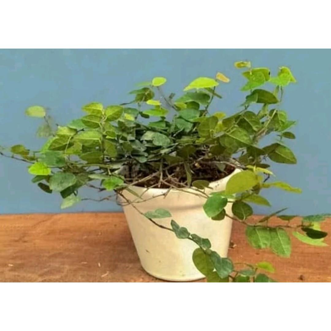 Tanaman Hias Dolar / Ficus Pumila
