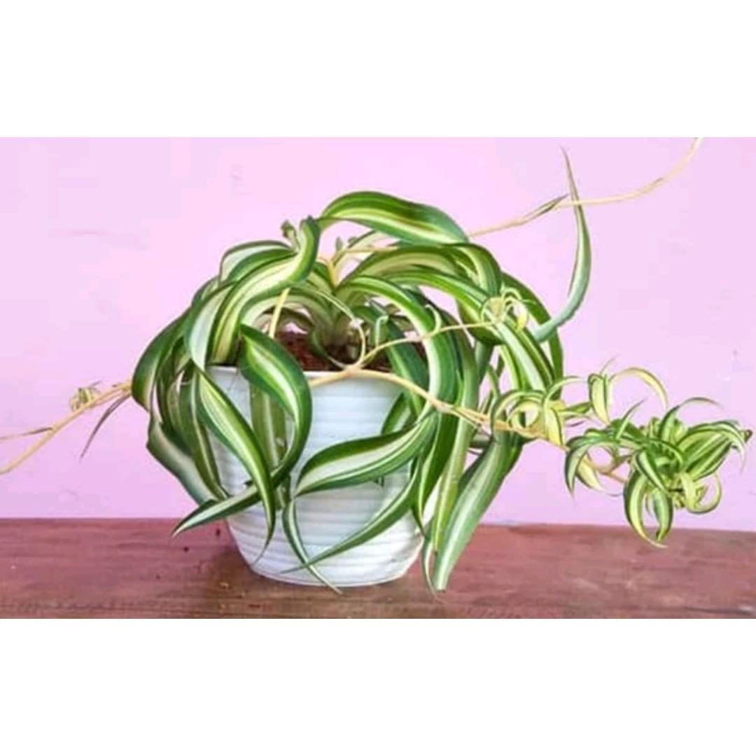 Tanaman Hias Spider Plant / Bonnie Chlorophytum Comosum Curly