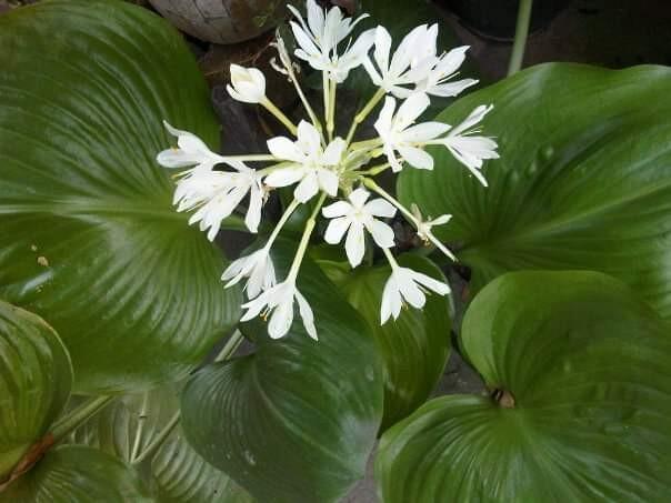 Bunga Desember Putih (langka)