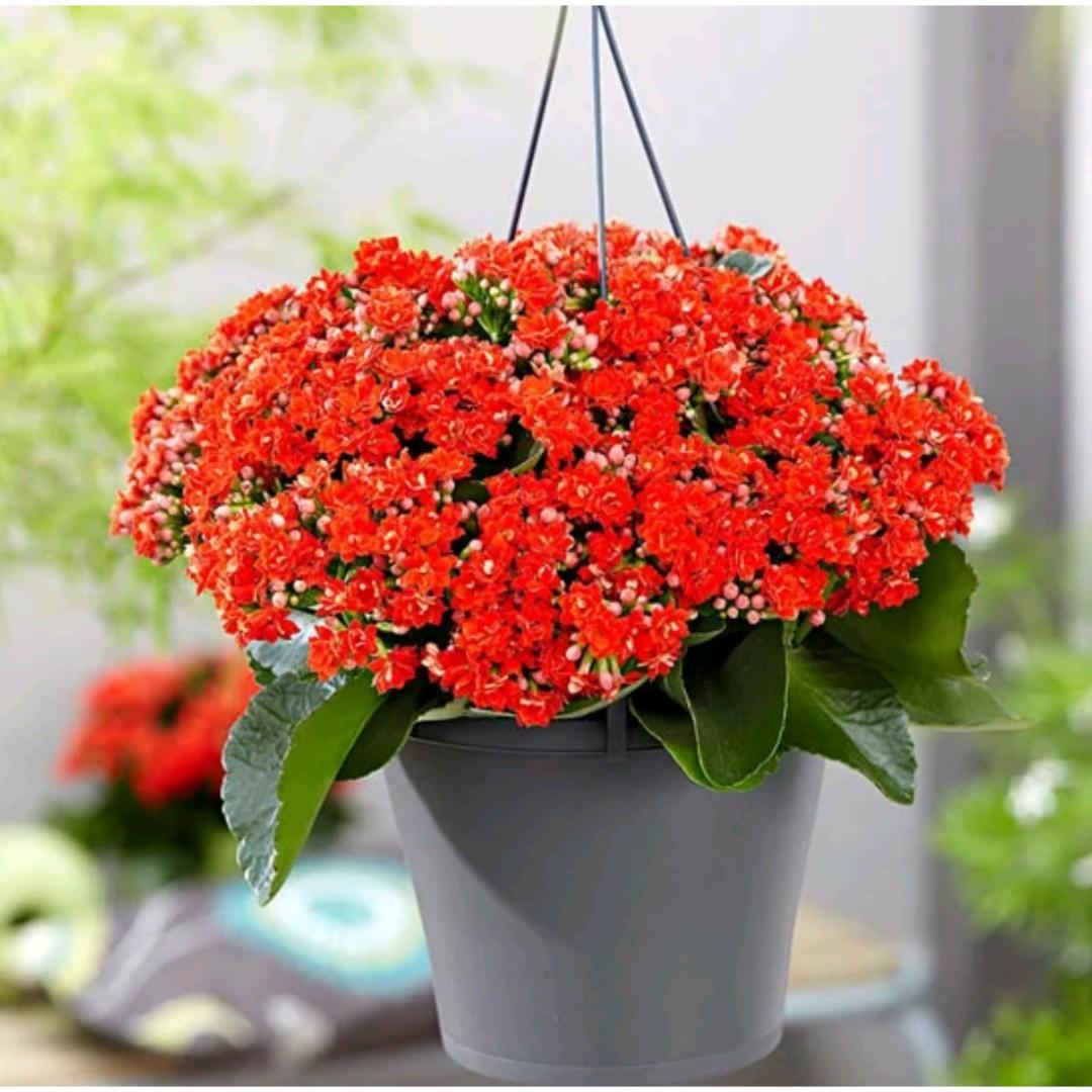 Tanaman Hias Kalanchoe Blossfeldiana Red