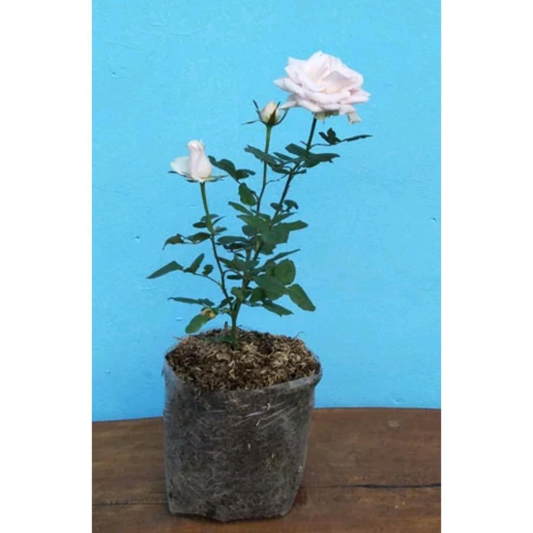 Tanaman Hias Mawar Putih