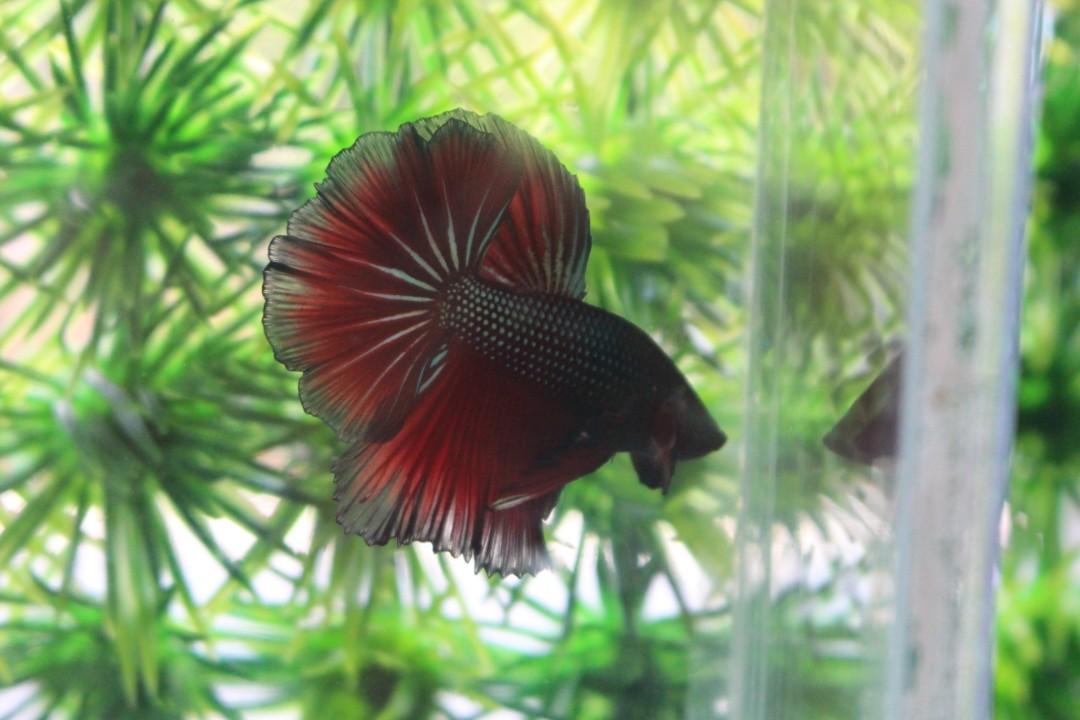 Ikan Cupang HM Rosetail