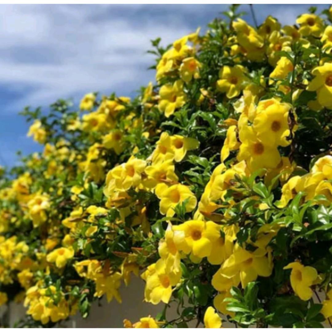 Tanaman Hias Alamanda Bunga Kuning / Cathartica Yellow