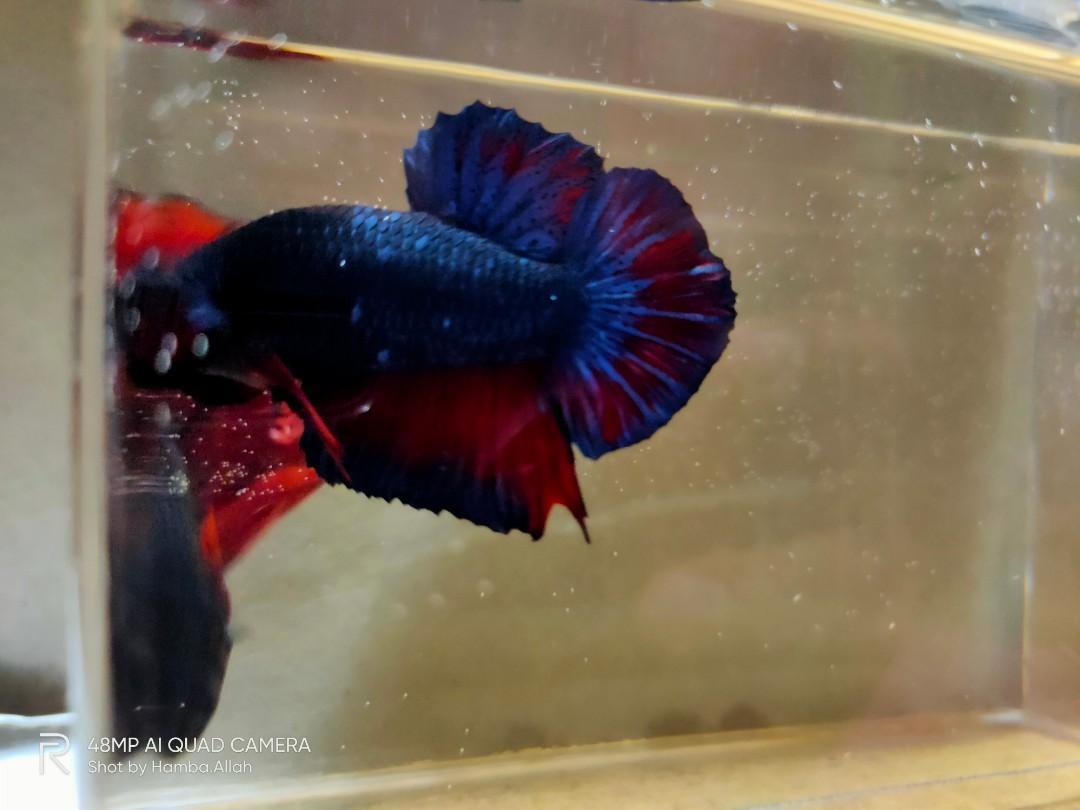 Ikan Cupang Avatar Gordon Perlengkapan Hewan Aksesoris Hewan Di Carousell
