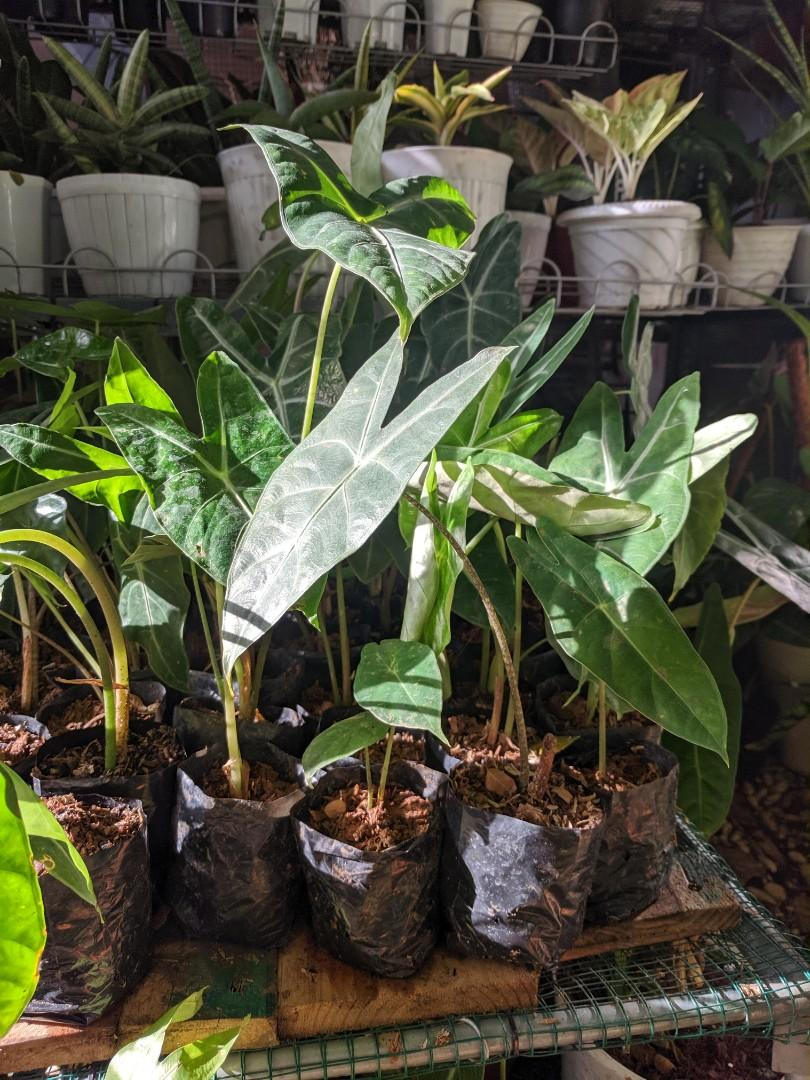 Alokasia amazonia