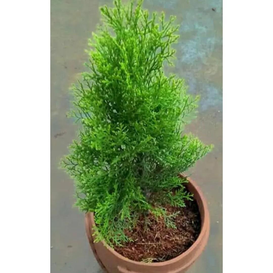 Tanaman Hias Cemara Medan / Sabina Aurea Chinensis
