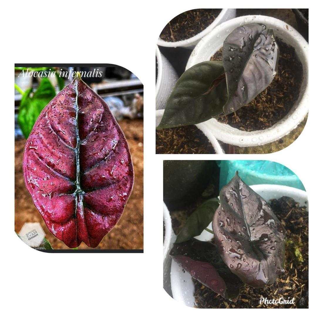 Alocasia Infernalis Kalimantan