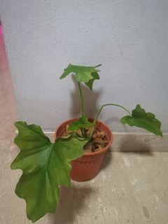 Philodendron 'Shangri La'