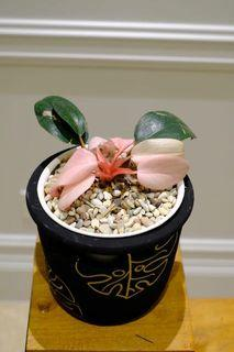 Philodendron pink congo
