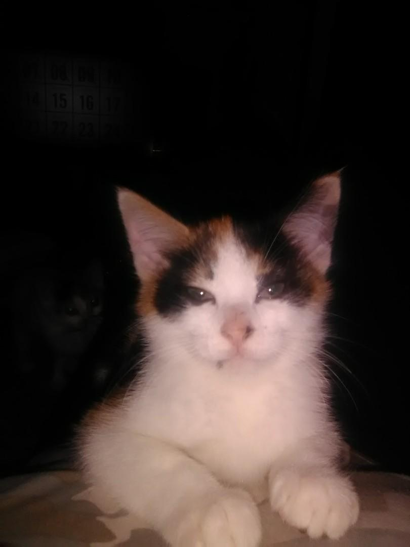 9week old Calico kitten
