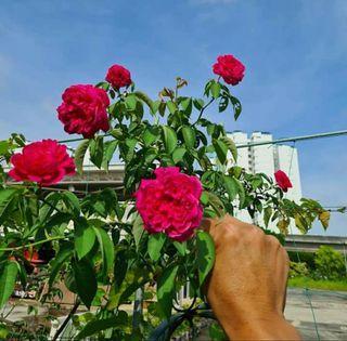 Fragrant Red-Pink Rose Plantlet (dia.15cm pot & 25cm pot)