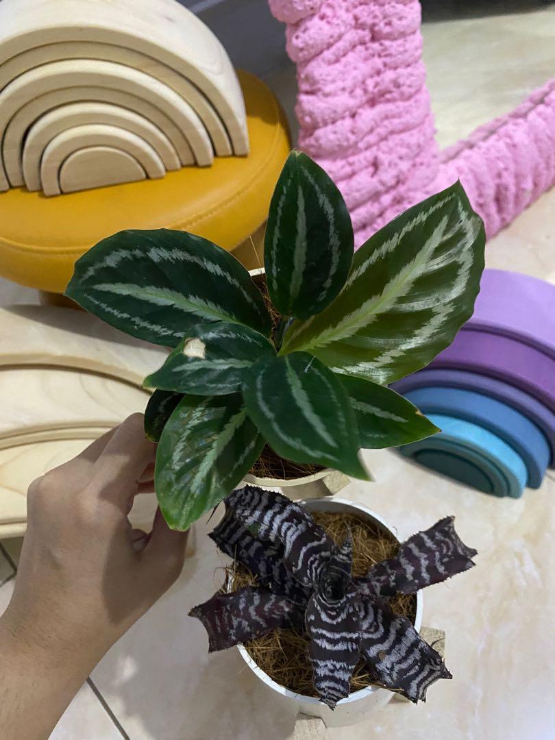 Mini Bromelia tiger calathea medalion