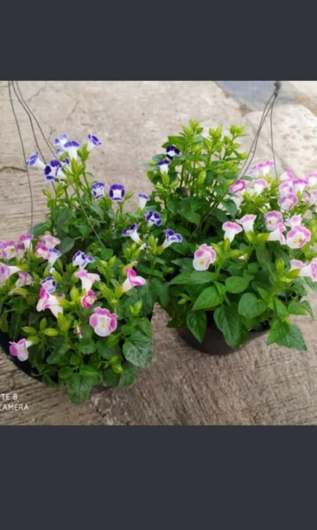 2 paket hemat tanaman hias bunga teronia